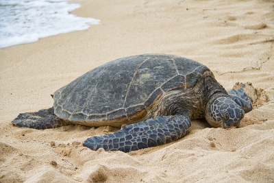 A sea turtle making its way across the beach