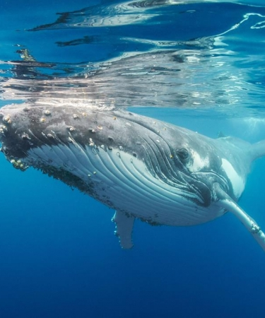 Beautiful Humpback Whale in Hawaii