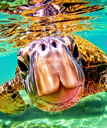 Sea Turtle Swimming in Hawaii