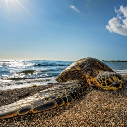 Green Turtle relaxing on the beach