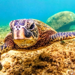 Beautiful green turtle in Hawaii