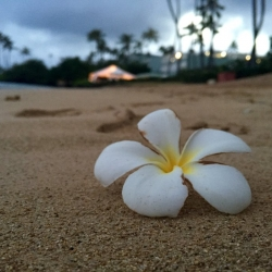 Single white flower on a Honolulu beach