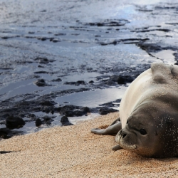 Sea lion relaxing on an Oahu beach