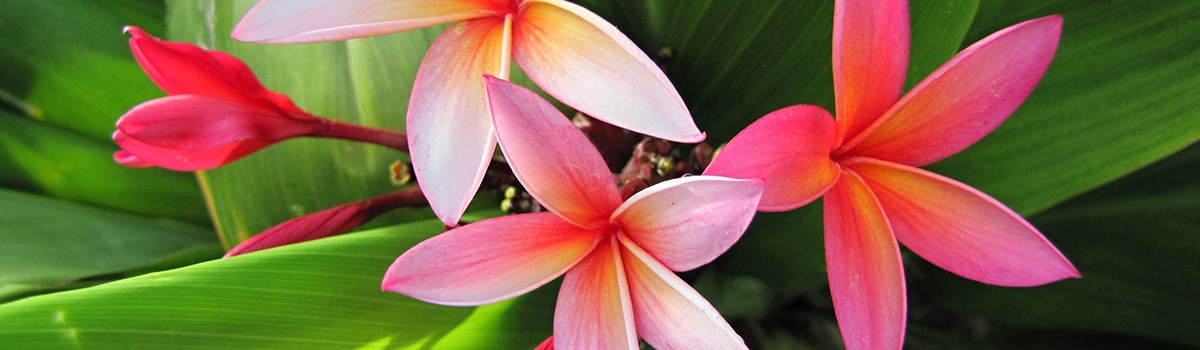 Close up of pink plumeria flowers