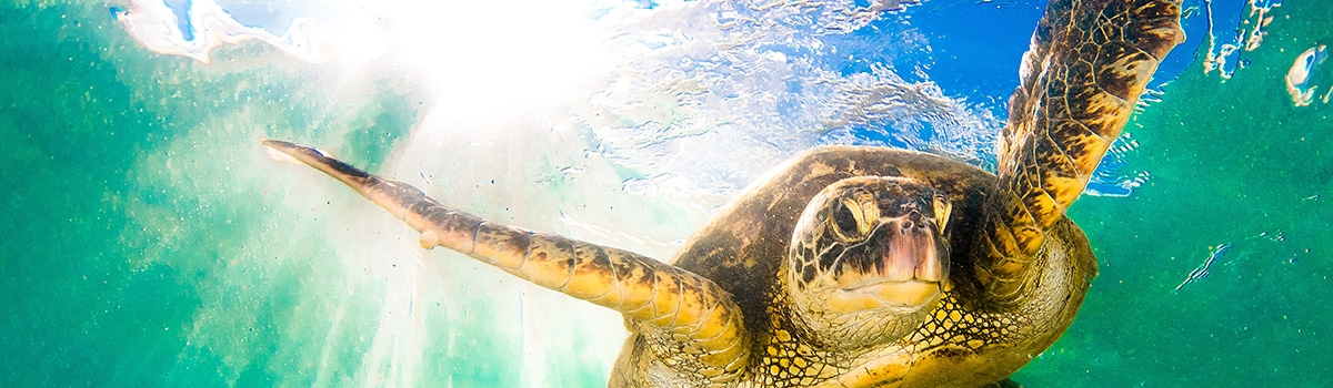 Sea turtle swimming with sun bursting through the water