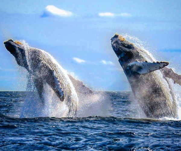 Two Whales breaching the surface of the ocean