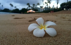 Single flower on an Oahu Beach